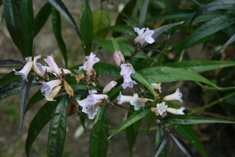 jolie petite plante Strobi10