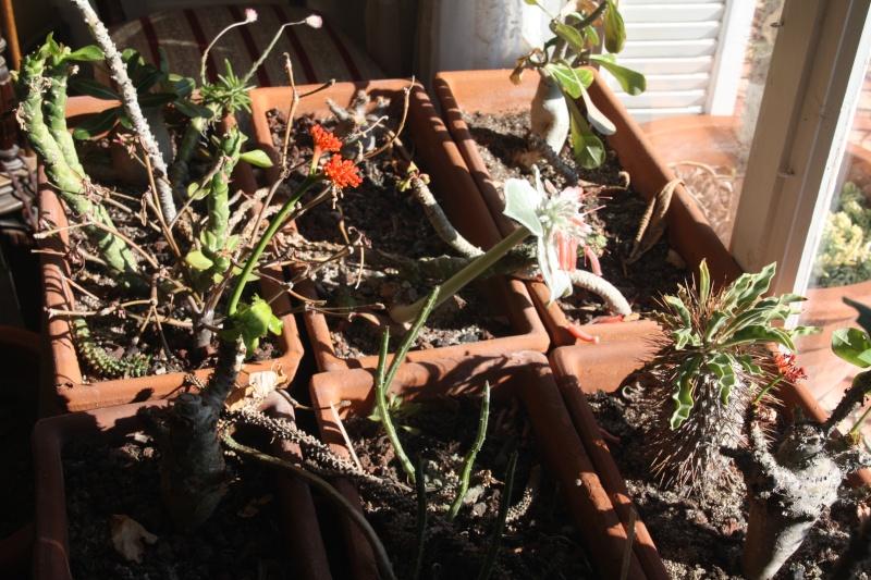 Succulentes frileuses en fleurs en ce moment Succul10