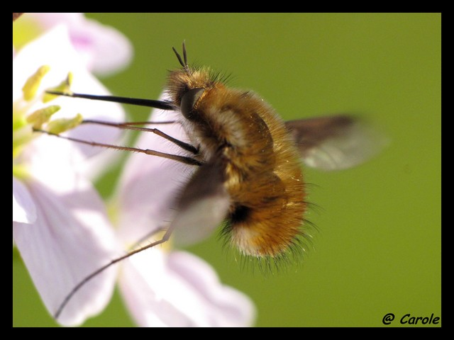 Photos [Bombyle] Insect10