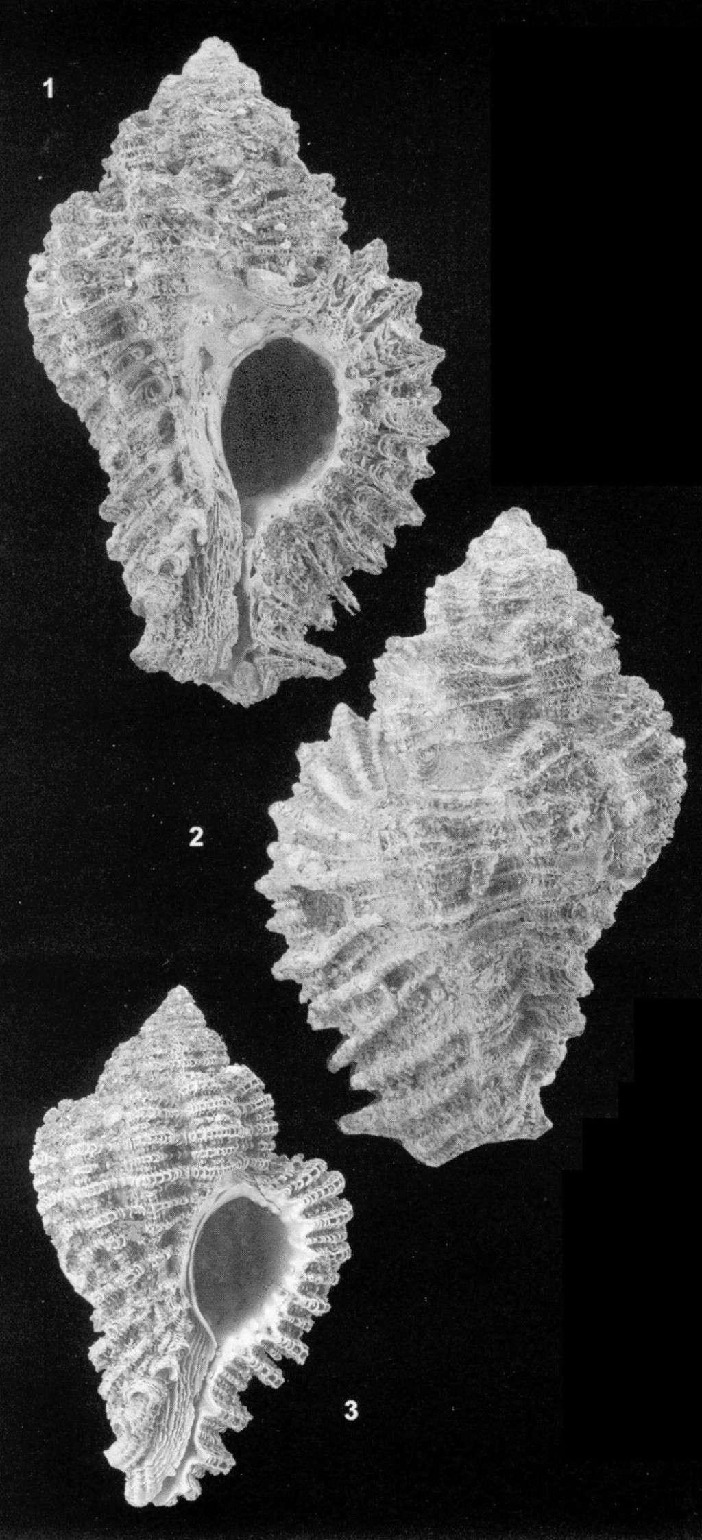[résolu]Qui connait ce Muricidae? Homalocantha perpulcher Sans_t11