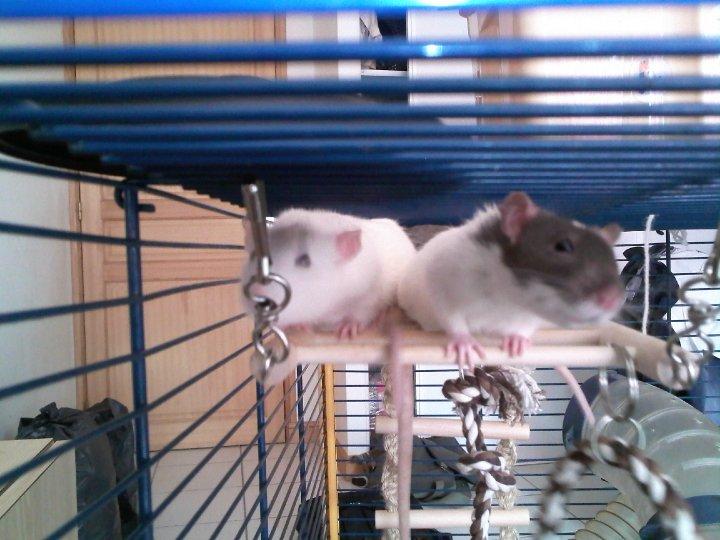 Les différents marquages du rat Mimi_e10