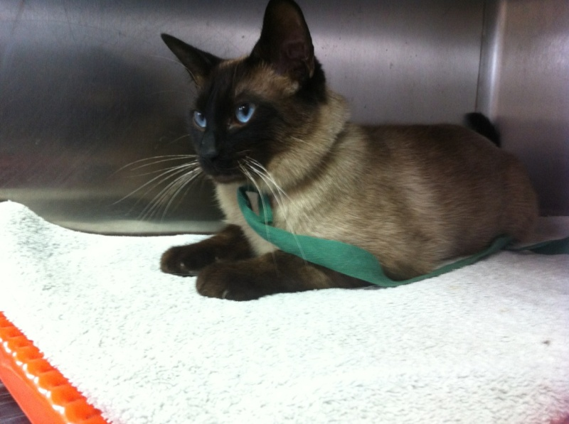 Urgent jeune chat type siamois chez le véto [94] Img_5711