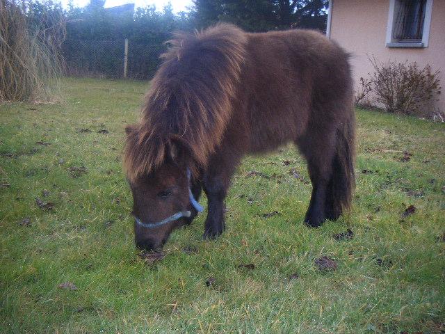 VENDREDI - Poney typé Shetland né en 2009 - adopté en février 2010 par oramai-di-maggio - Page 2 Dscf9613