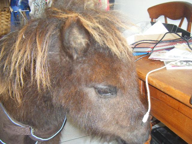 VENDREDI - Poney typé Shetland né en 2009 - adopté en février 2010 par oramai-di-maggio - Page 3 Dscf9820