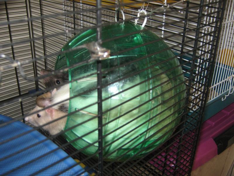Comment dorment vos rats? - Page 4 Groupe10