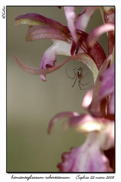 orchidées et araignées 08_fds12