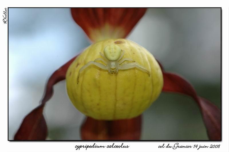orchidées et araignées 08_fds14