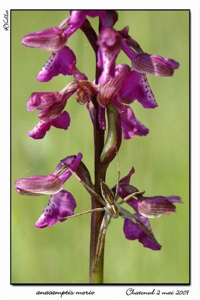 orchidées et araignées - Page 2 09-05-11
