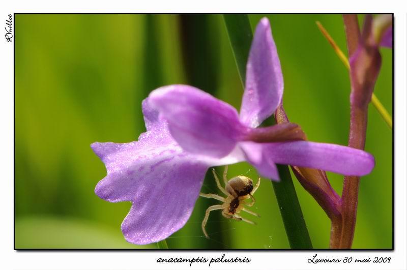 orchidées et araignées - Page 2 09-05-12