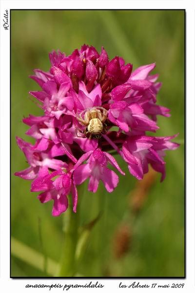 orchidées et araignées - Page 2 09-05-14