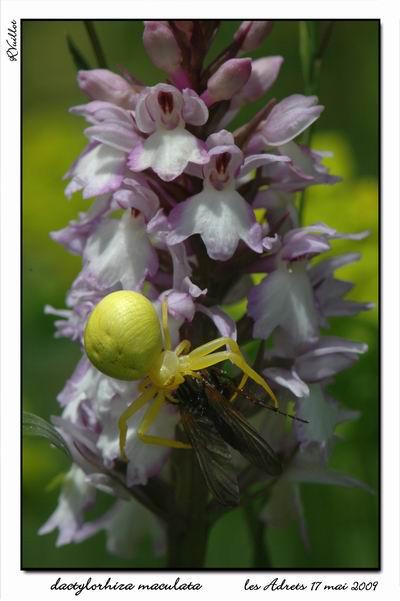 orchidées et araignées - Page 2 09-05-15
