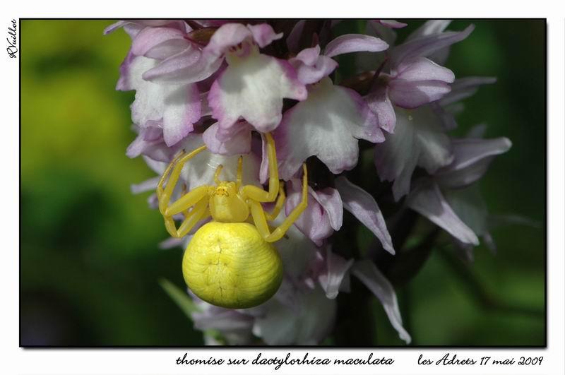 orchidées et araignées - Page 2 09-05-16