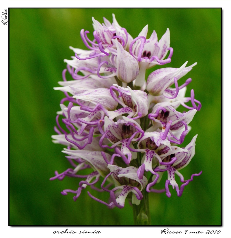 orchis simia ( Orchis singe ) 10-05-16