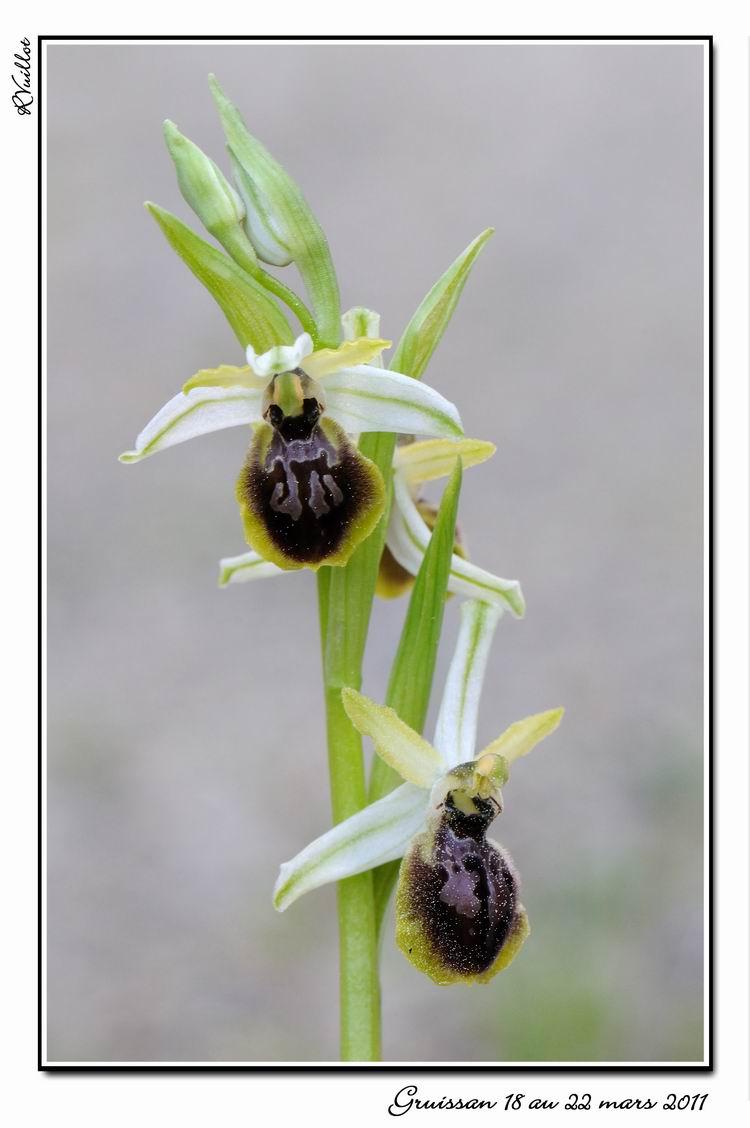 Ophrys exaltata marzuola (Ophrys de Mars ) 11-03-72