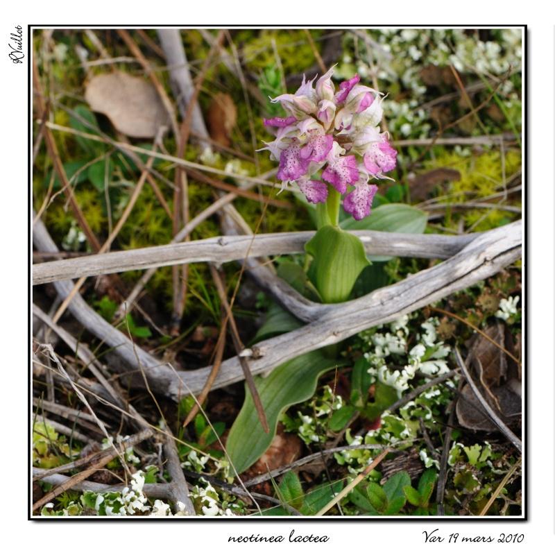 Neotinea lactea ( Orchis couleur de lait ) Varam-14