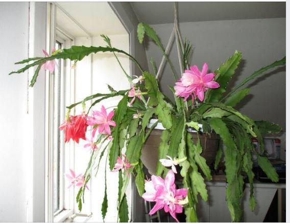 cactus a pépé qui a fleurit - Page 2 Captur21