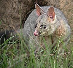 Soutenons les espèces oubliées et pourtant si joviales - Page 23 Possum10