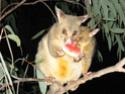 Soutenons les espèces oubliées et pourtant si joviales - Page 23 Opossu10