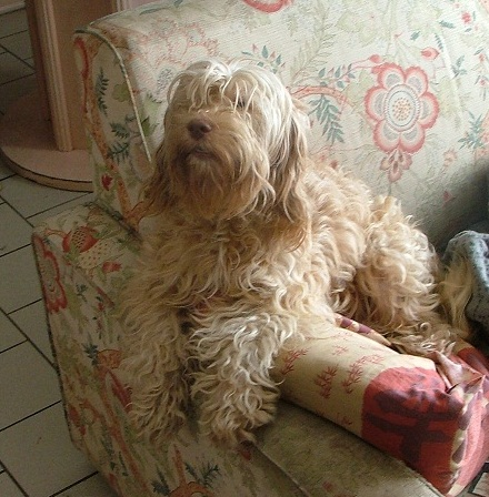 URGENT Donne type caniches type cockers 15 chiens (Nord) Dscf3311
