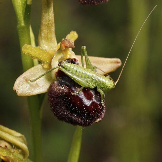 Orchidées et... sauterelles _mg_7921