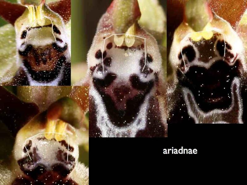 Cavité stigmatique d'un ophrys : largeur et hauteur Ariadn10