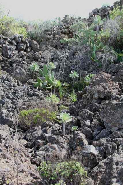 Orchidées des Canaries (1/3) Biotop10
