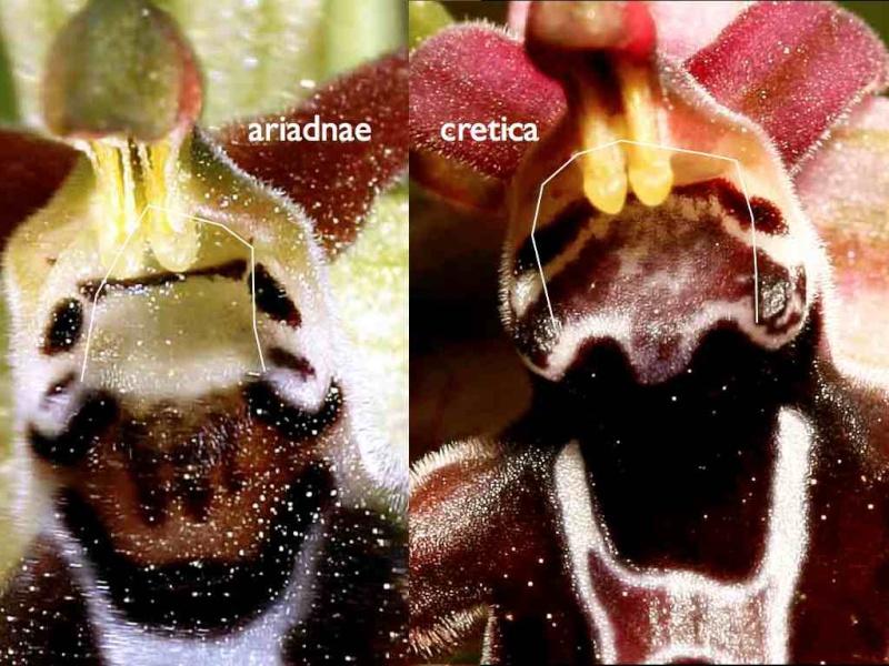 Cavité stigmatique d'un ophrys : largeur et hauteur Cret-a11