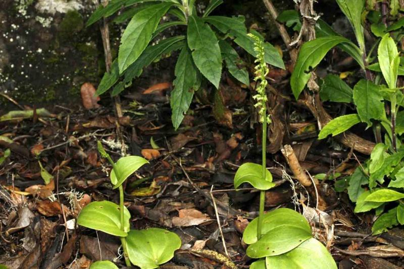 Gennaria diphylla ( Gennarie à deux feuilles ) Gen_mi11
