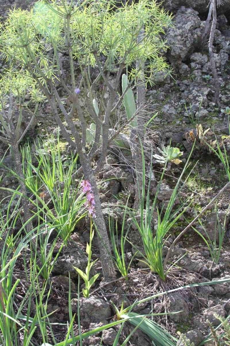 Orchidées des Canaries (1/3) Himant10