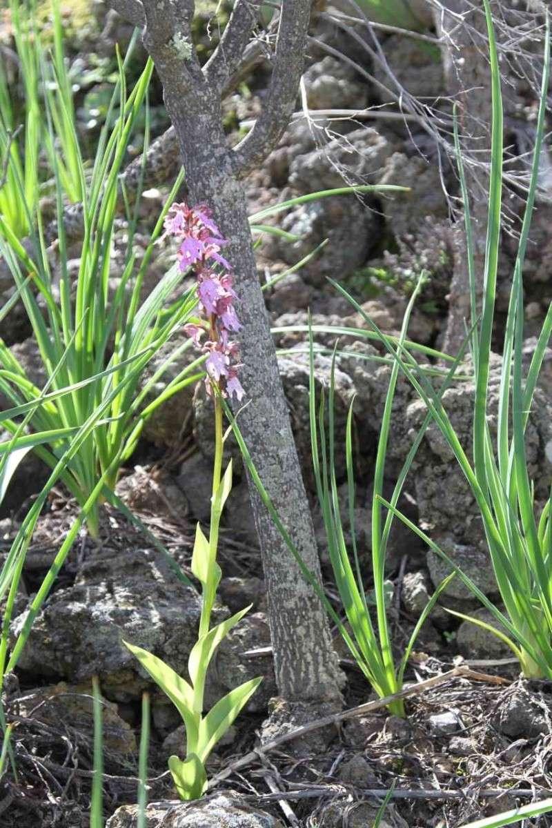 Orchidées des Canaries (1/3) Himant11