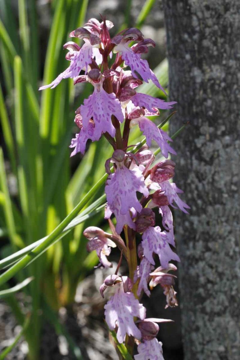 Orchidées des Canaries (1/3) Himant14
