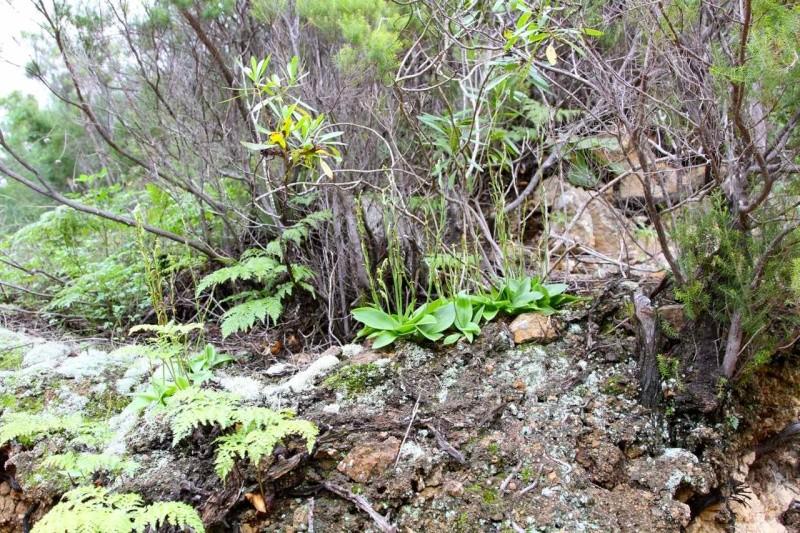 Orchidées des Canaries (2/3) Val-ha10