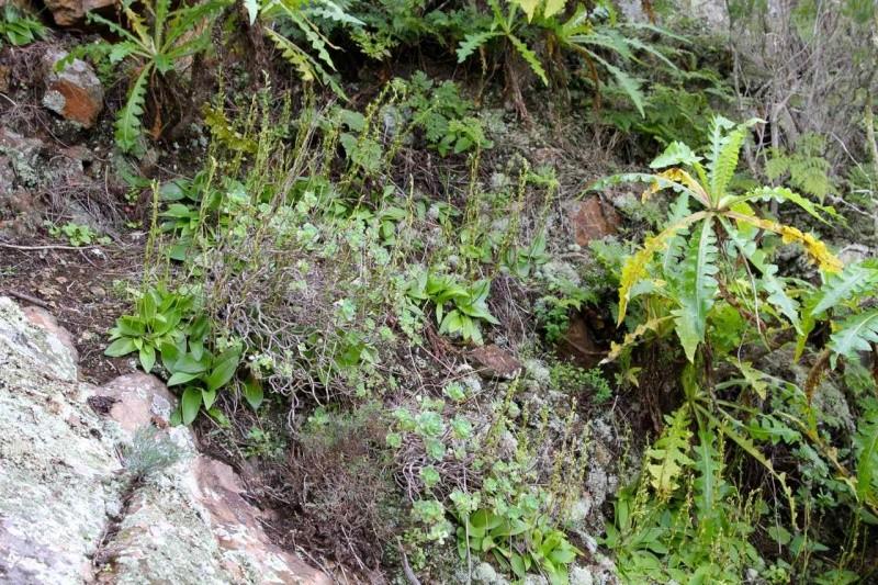 Orchidées des Canaries (2/3) Val-ha11