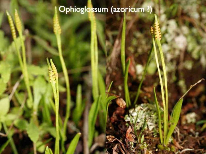 Orchidées des Canaries (2/3) Val-op10