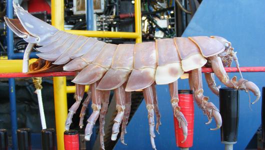 Un isopode geant a éte retrouvé attaché a un sous marin Deep-s10