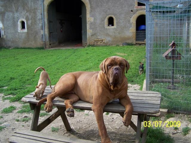Dogue de Bordeaux  classé en  2ème catégorie 100_4110