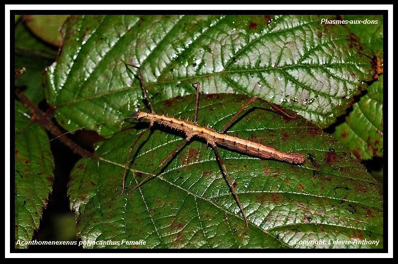 Acanthomenexenus polyacanthus (PSG n°295) Acanth11