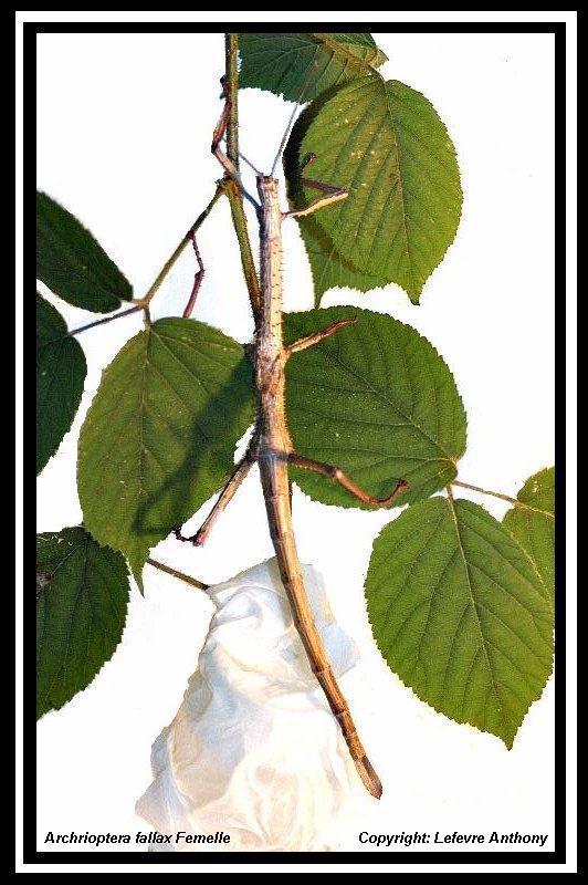 Archrioptera fallax (P.S.G n°???) Archri15