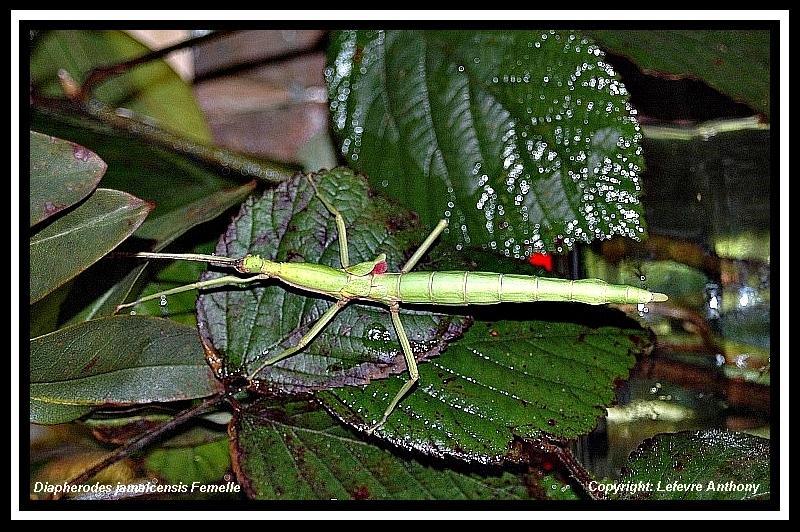 Diapherodes jamaicensis (P.S.G n°214) Diaphe27
