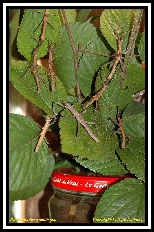 Dimorphodes catenulatus (P.S.G n°236) Dimorp11