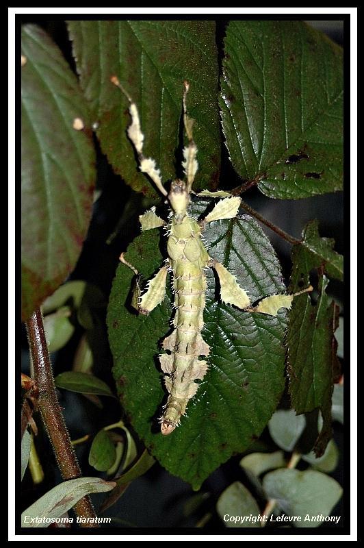 Extatosoma tiaratum lichen - Page 3 Extato15