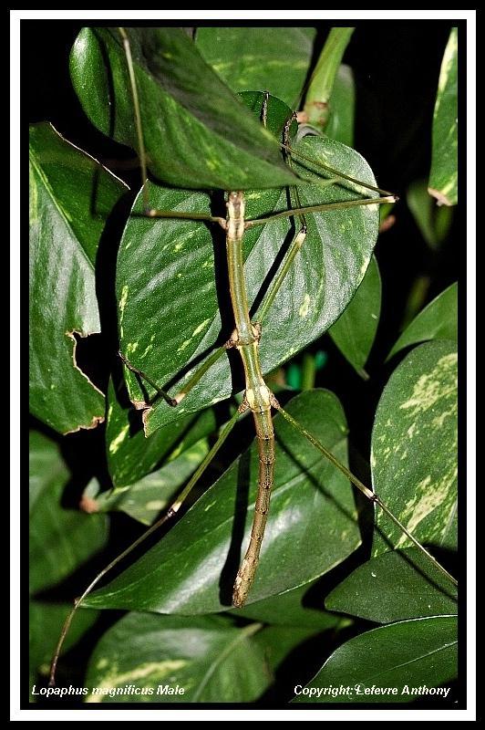 Myronides magnificus (psg 210) Lopaph20