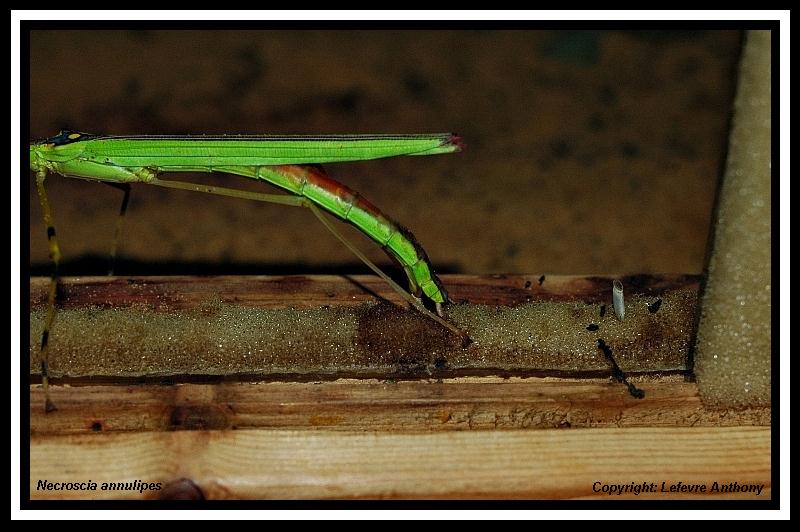Necroscia annulipes (psg 290) Necros13