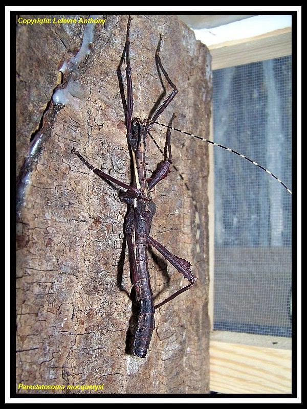 Parectatosoma mocquerysi - P.S.G n° 258 Parect10