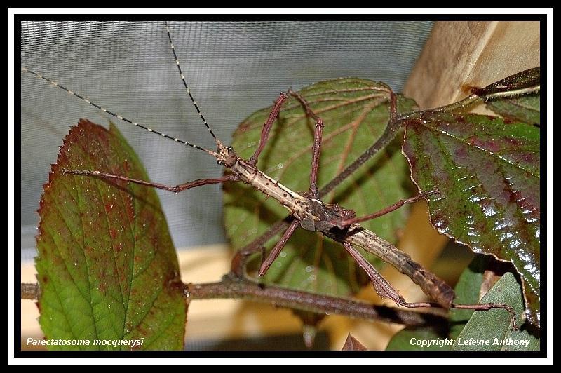 Parectatosoma mocquerysi - P.S.G n° 258 Parect11