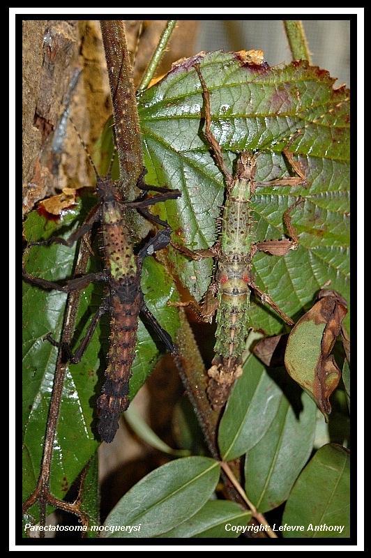 Parectatosoma mocquerysi - P.S.G n° 258 Parect12