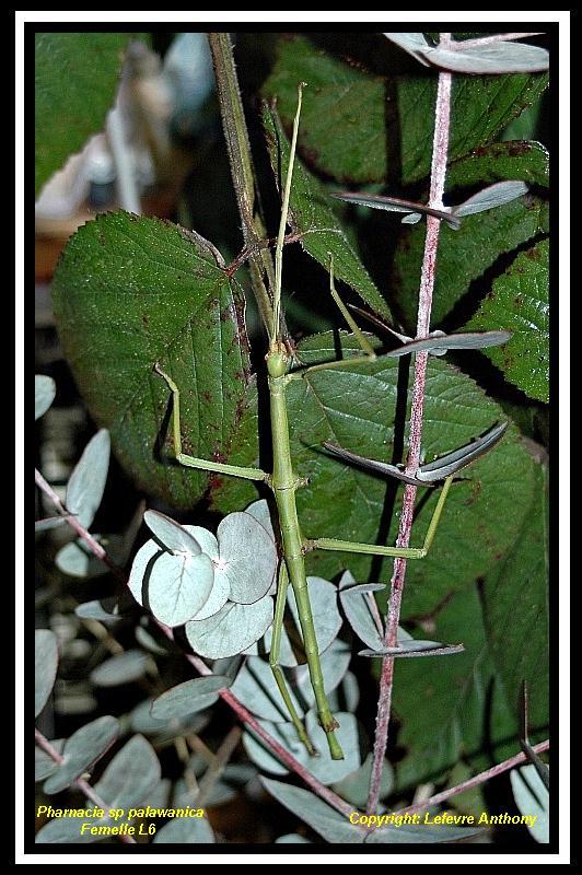 Pharnacia palawanica (P.S.G n°???) Pharna13