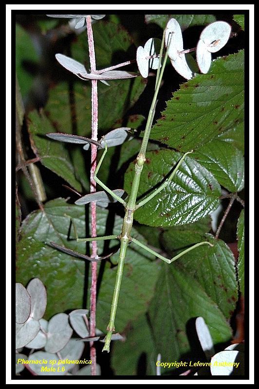 Pharnacia palawanica (P.S.G n°???) Pharna14
