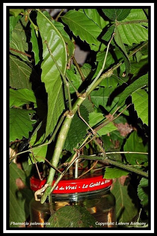 Pharnacia palawanica (P.S.G n°???) Pharna22