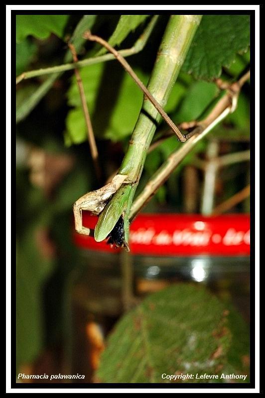Pharnacia palawanica (P.S.G n°???) Pharna23
